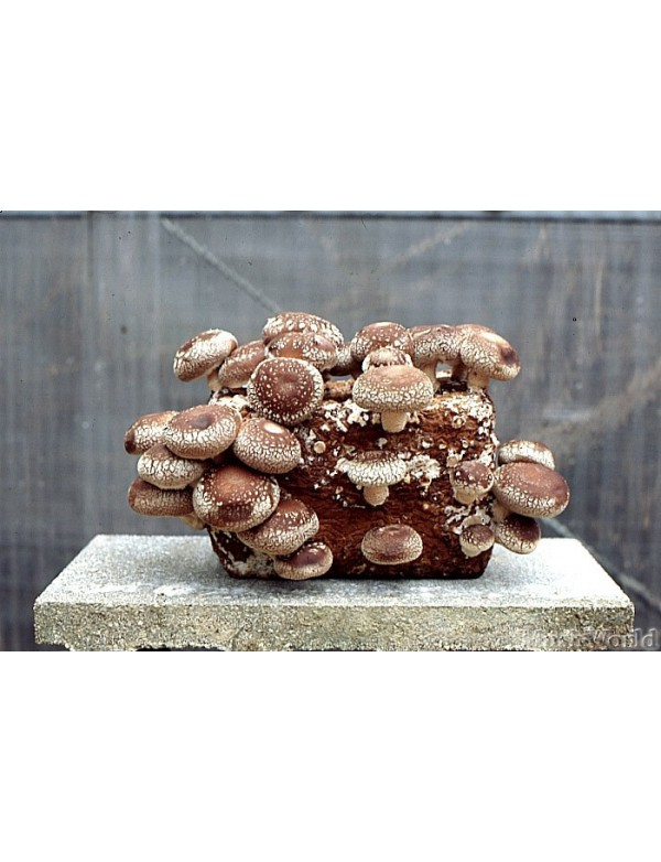 15 liter of shiitake